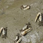 Fiddler crabs come out at low tide.