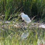 Snowy egret waits out the tide