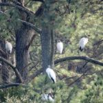 Woodstorks roosting at the pond